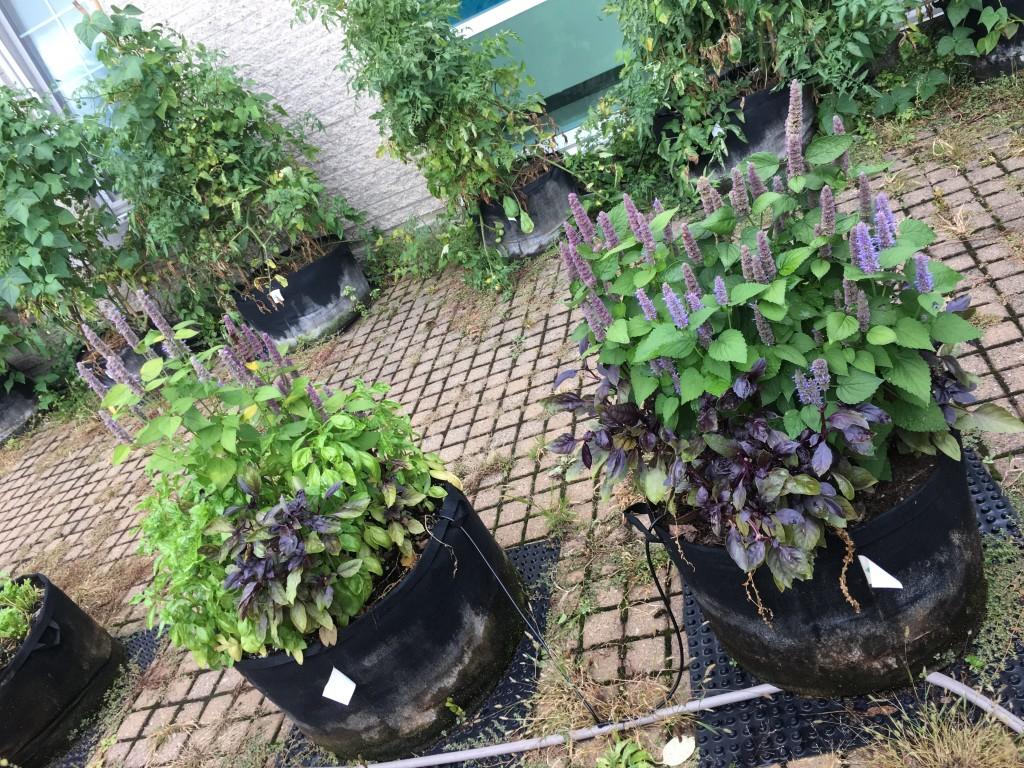 Fines herbes au potager
